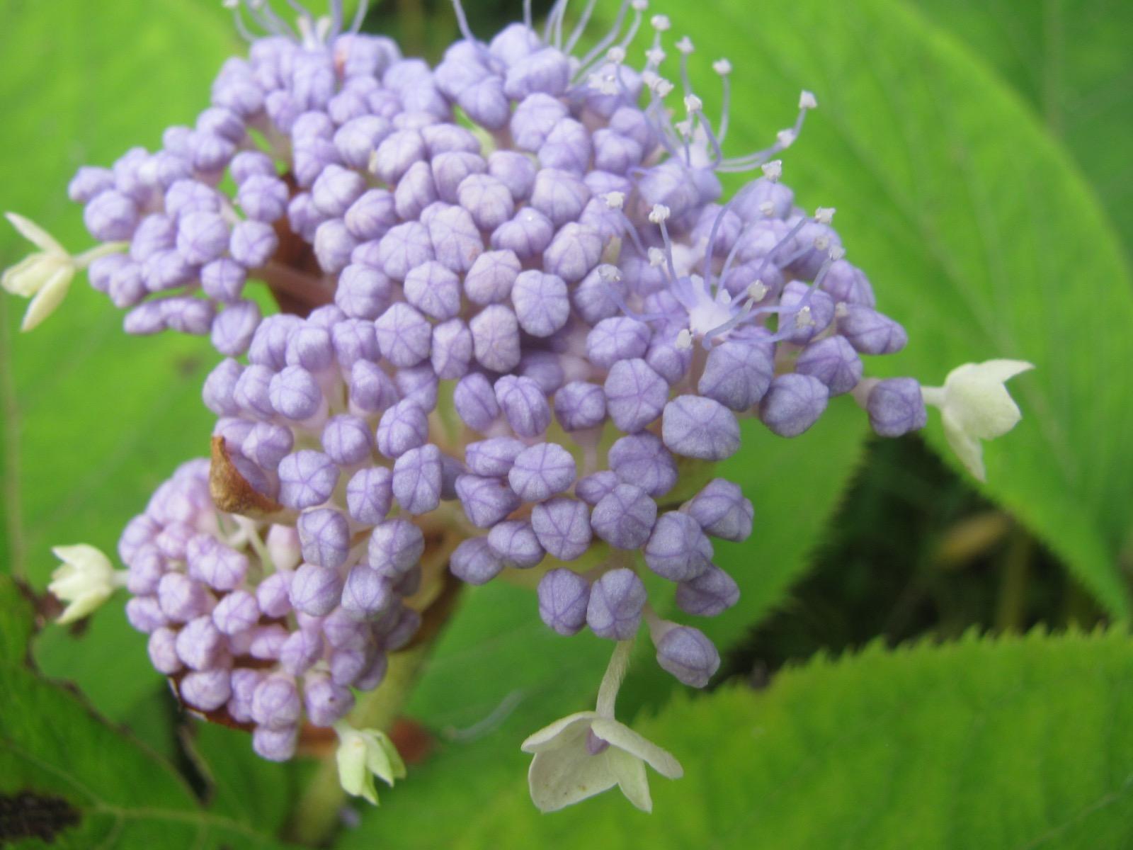 夏の紫陽花、玉紫陽花が咲き始めました