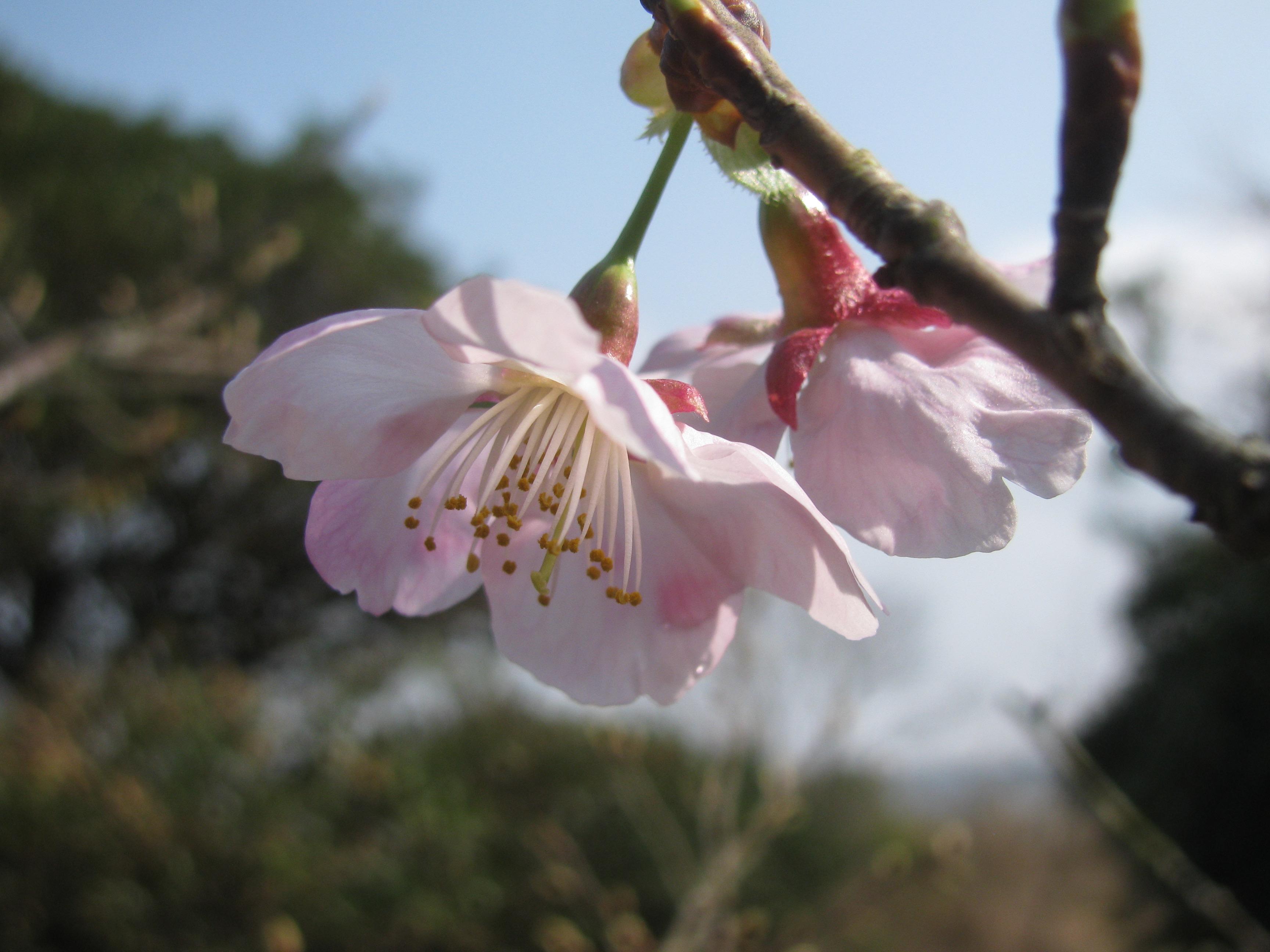 6年ぶりに彼岸桜が咲きました