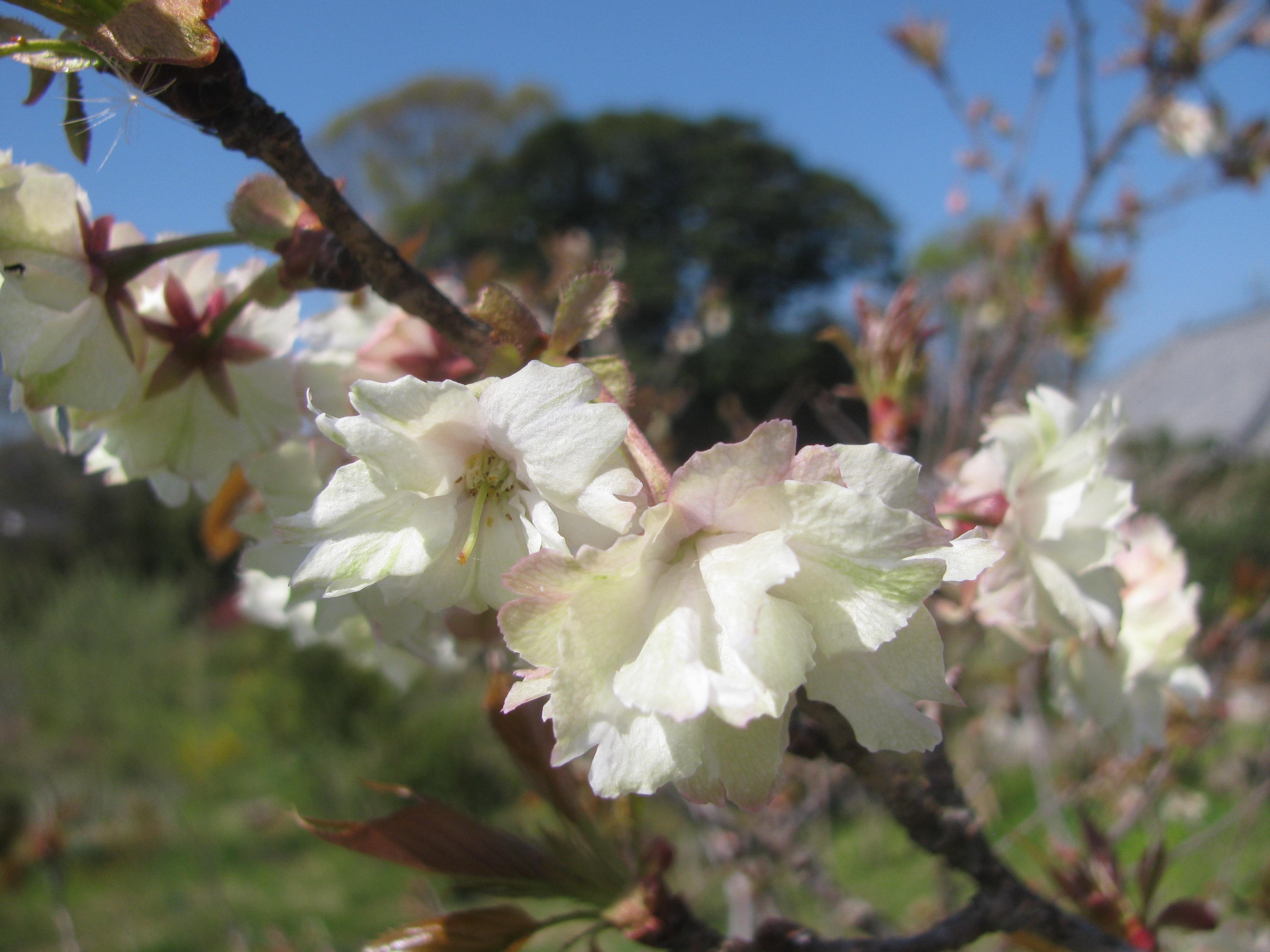 鬱金(うこん)桜が咲き始めました