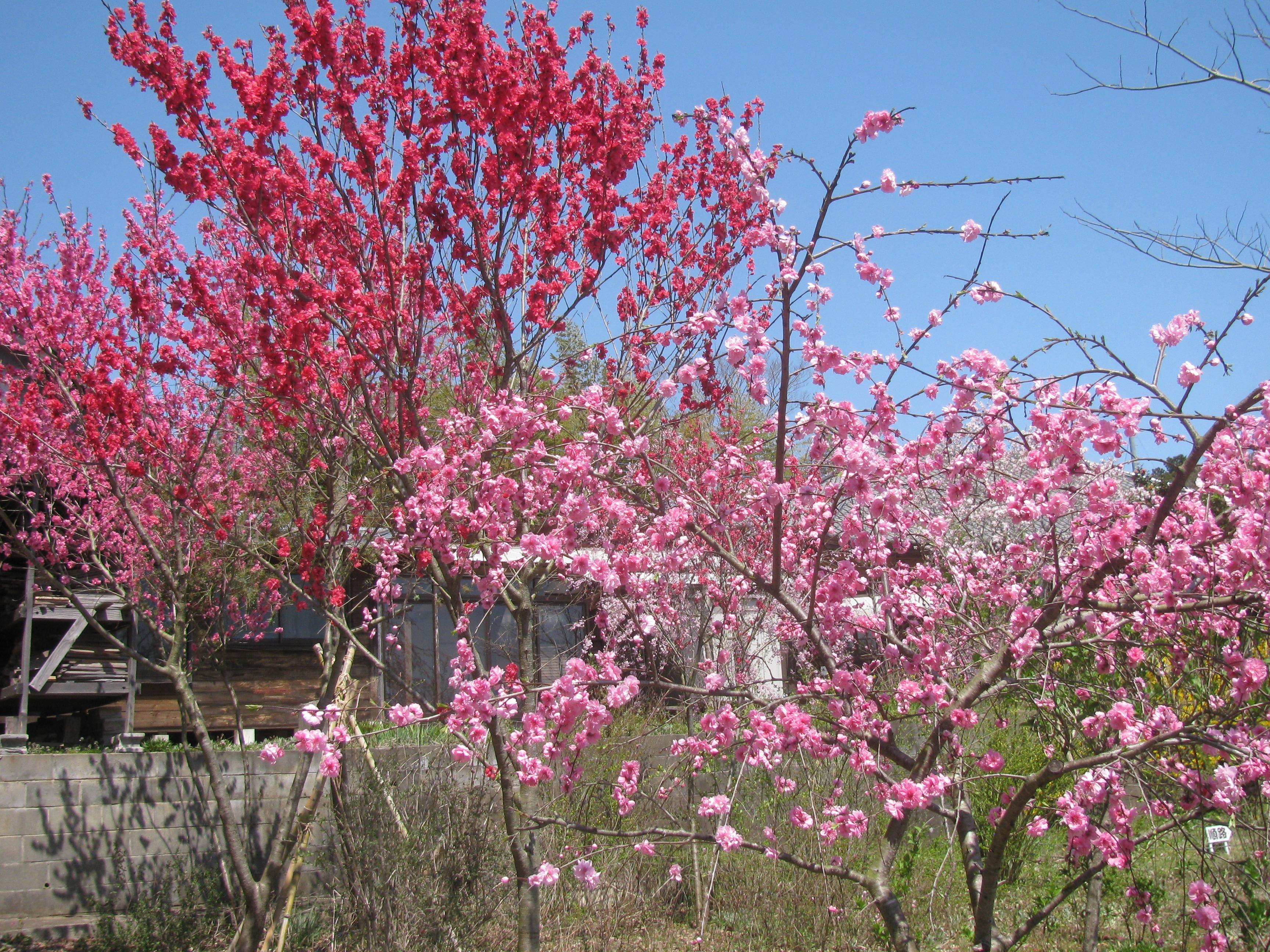 花桃が咲きそろいました