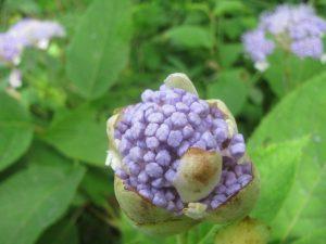 玉紫陽花(咲き始め)