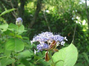 玉紫陽花(両性花)