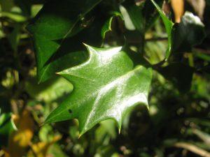 柊の棘が有る葉
