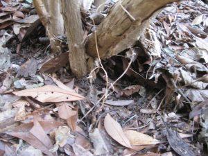 紫陽花の根元の落ち葉が掻き出される
