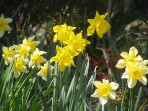 水仙:ラッパ咲き