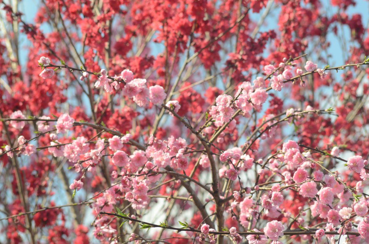 花の庭、花桃が満開になりました