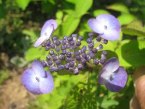 甘茶・紫陽花