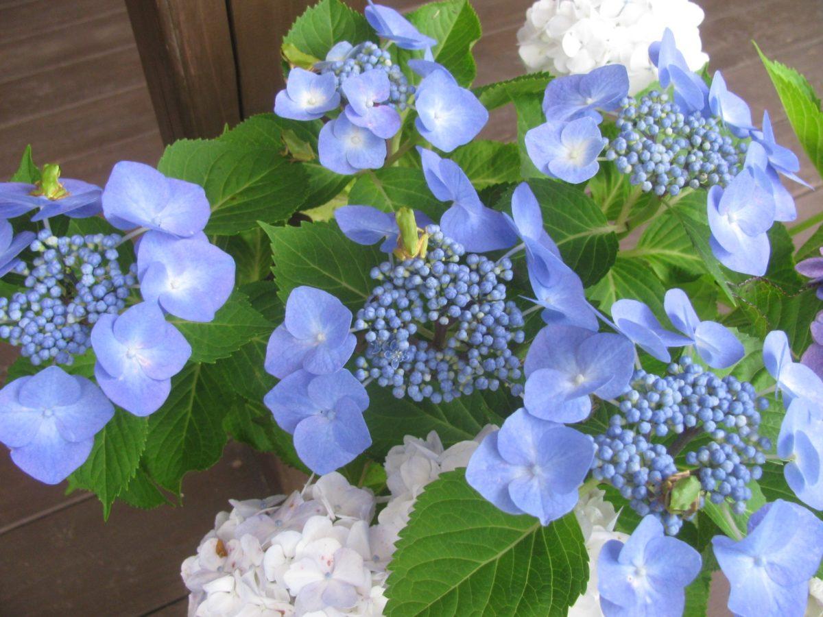 にほん雨蛙が紫陽花に集合