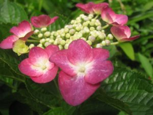 額赤・紫陽花