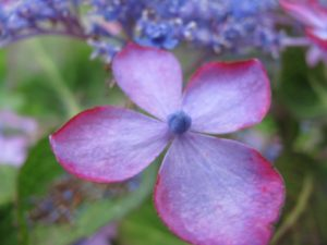 山・紫陽花