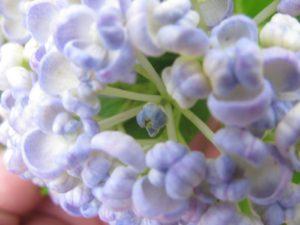 お多福・紫陽花