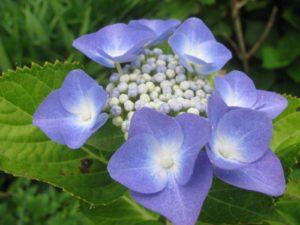 額青・紫陽花