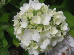 手毬咲き白・紫陽花