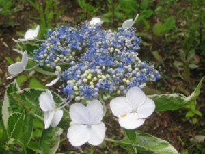 斑入り・紫陽花