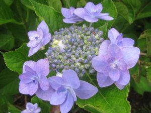 城ヶ崎・紫陽花