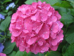 手毬咲き赤・紫陽花