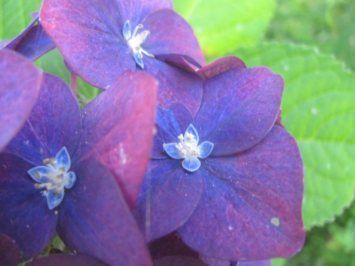 紫陽花の両性花と装飾花も満開に