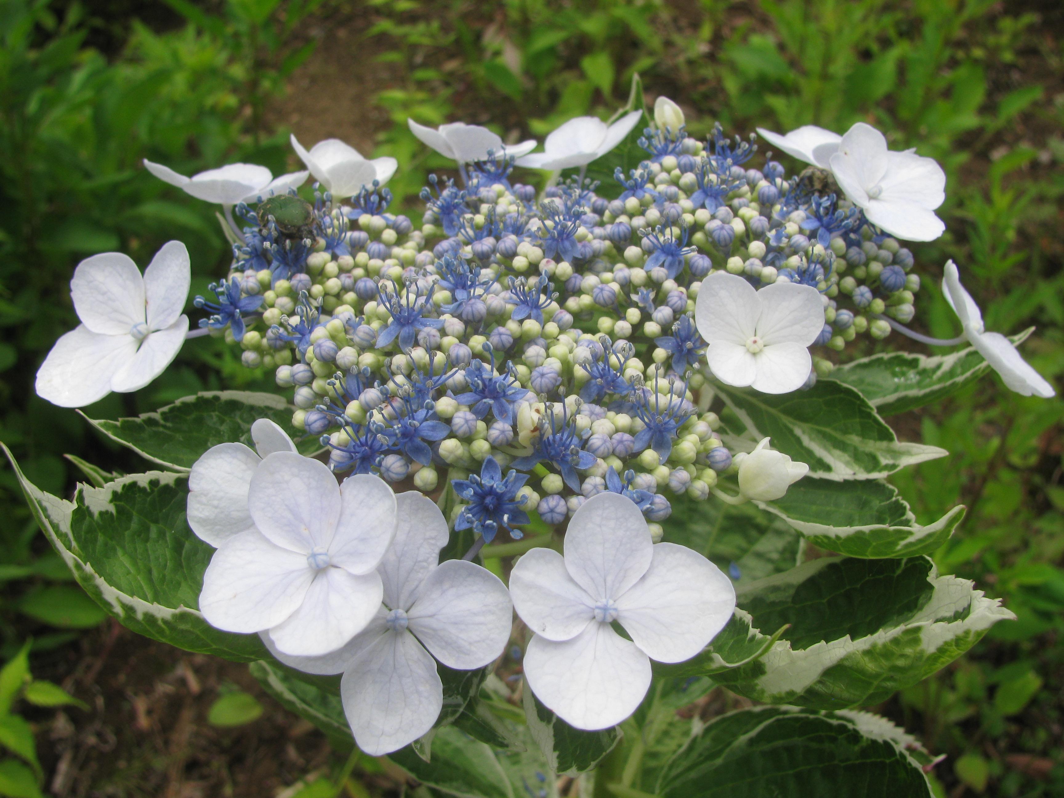 両性花:額紫陽花