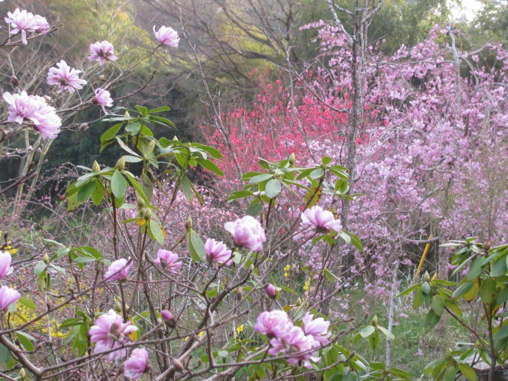 姫辛夷、枝垂れ桜、連翹、花桃、水仙