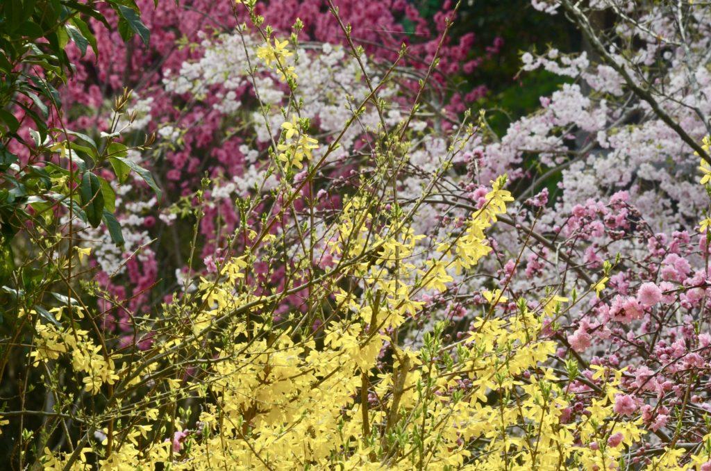 連翹、枝垂れ桜、花桃