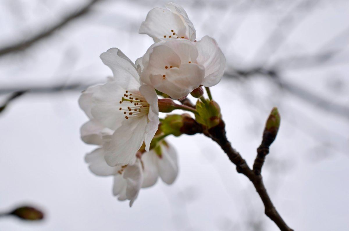 染井吉野桜と枝垂れ桜が開花
