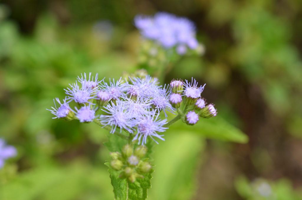 紫のユーパトリウム(Eupatoriun)