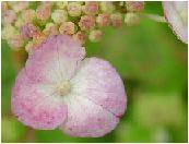 紅紫陽花(クレナイアジサイ)