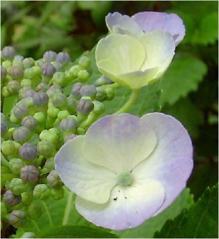 大虹:紫陽花(オオニジアジサイ)