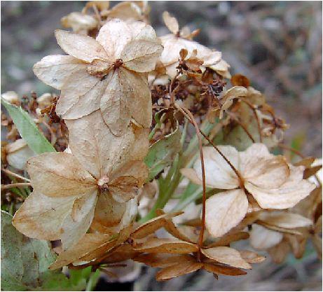 山顎紫陽花(ヤマガクアジサイ)