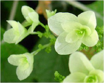 八重柏葉紫陽花(ヤエカシワバアジサイ)