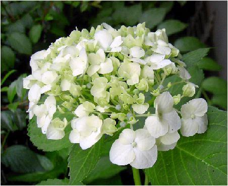 手毬白紫陽花(テマリシロアジサイ)