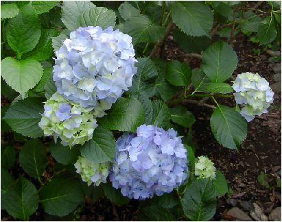 姫紫陽花(ヒメアジサイ)