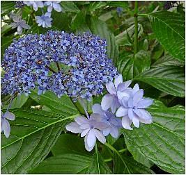 城ケ崎(紫陽花)ジョウガサキアジサイ