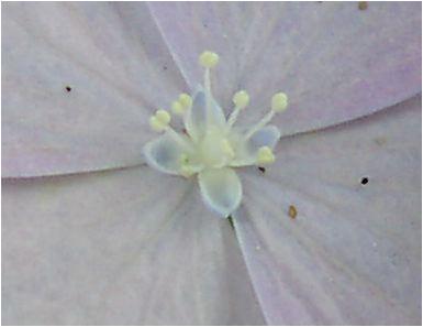 撫子顎紫陽花(ナデシコガクアジサイ)