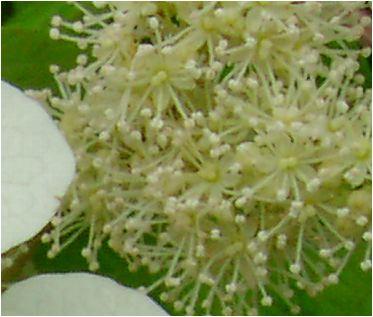 柏葉紫陽花(カシワバアジサイ)一重