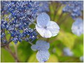 甘茶紫陽花(アマチャヤマアジサイ)