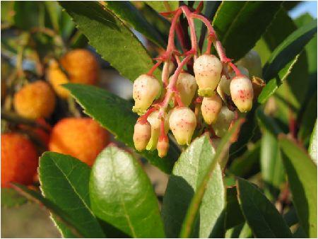 苺の木(イチゴのキ)