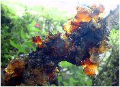 垂れ梅の木の脂
