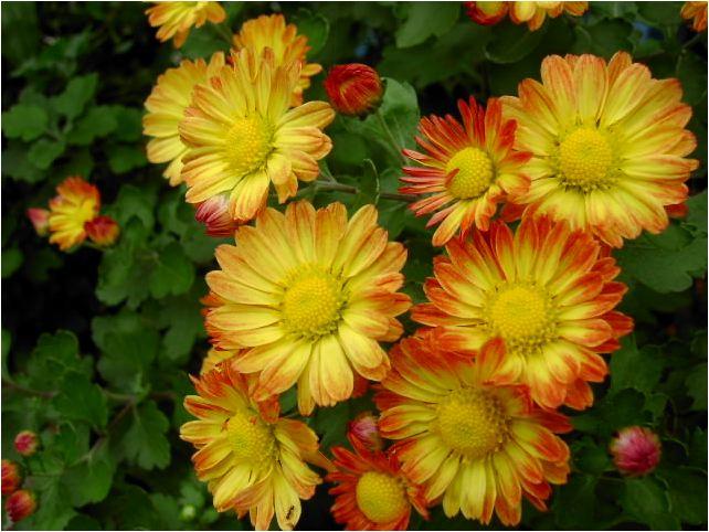 橙色の小菊