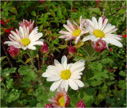 薄桃色の小菊