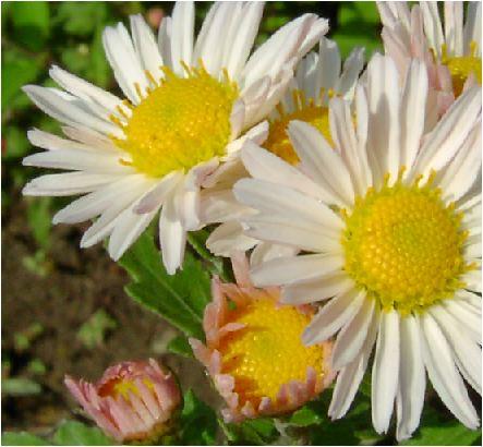 朱鷺色の小菊