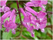 プレクトランサス(Plectranthus) 赤紫