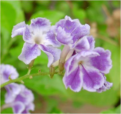 デュランタ(Duranta 、Brazilian skyflower)