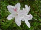 皐月(サツキ:白)の花