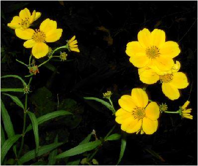 ビデンス・オーレア(bidens aurea)
