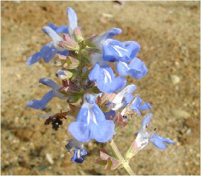 ボックセージ(Salvia uliginosa)