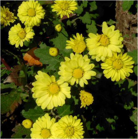 黄色の小菊