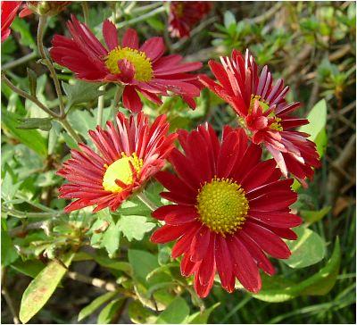 赤色の小菊