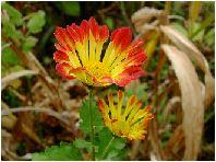 赤黄色の小菊