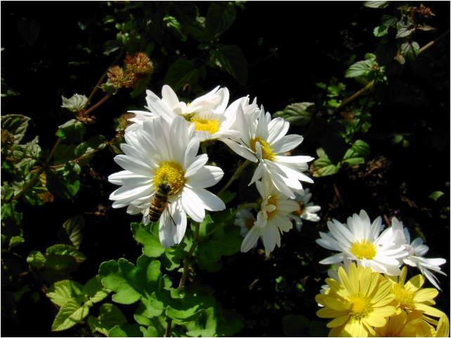 白色の小菊